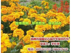 丛草花,山东若草花,请来青州绿鑫