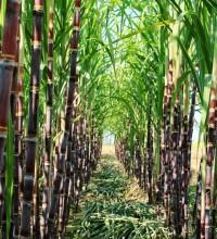 2017糖业机械化博览会将现场演示甘蔗机械